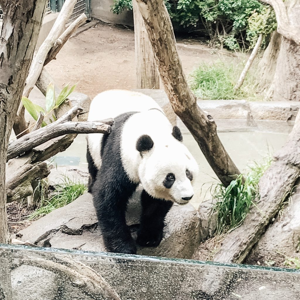 Last day the pandas were at San Diego Zoo