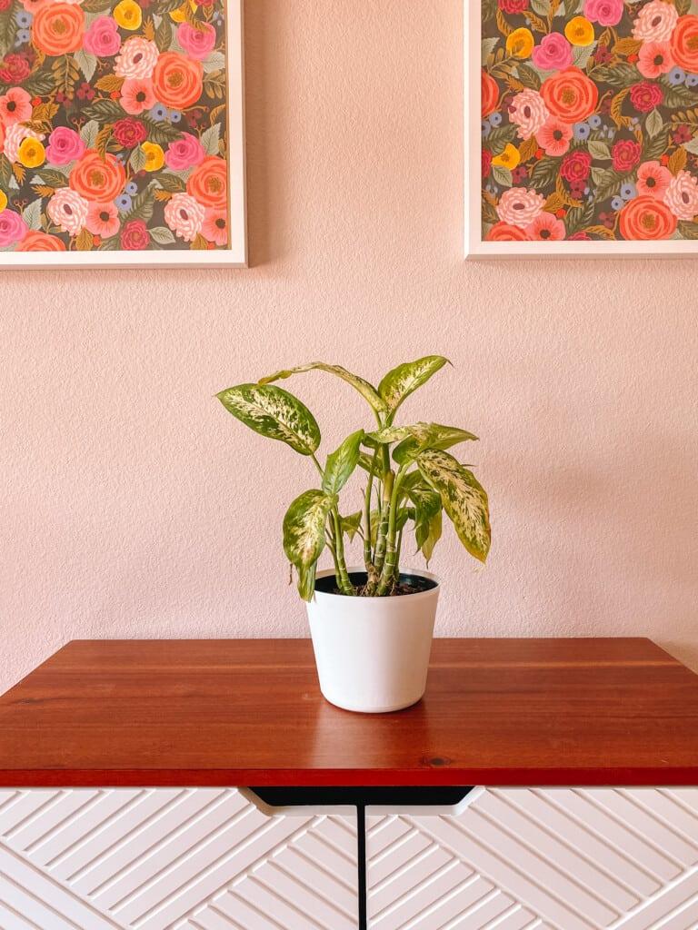 Best Houseplants for Beginners: Diffenbacia