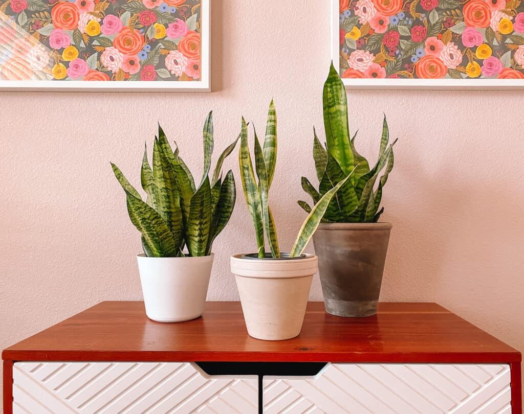 Best Houseplants for Beginners: Snake Plants