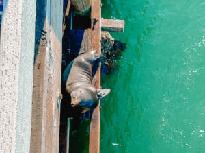 santa cruz wharf sea lion
